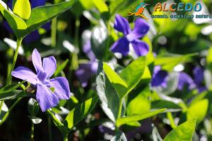 Pervinca (vinca minor)